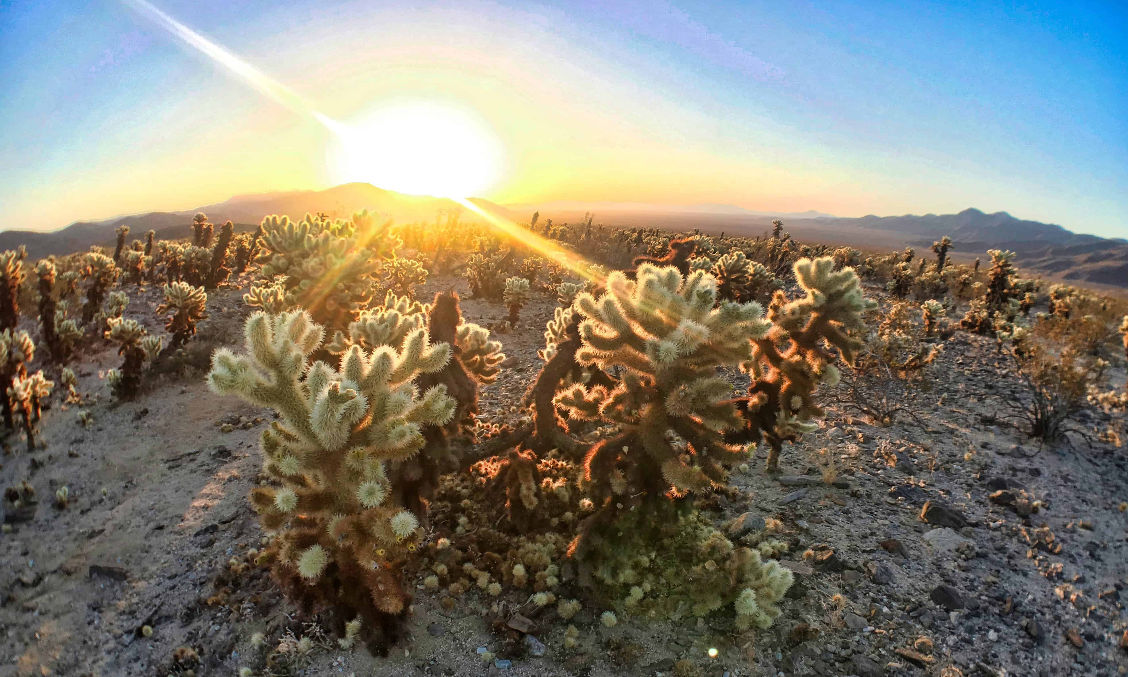 Visiting Joshua Tree National Park in the Day: Cholla Cactus Garden