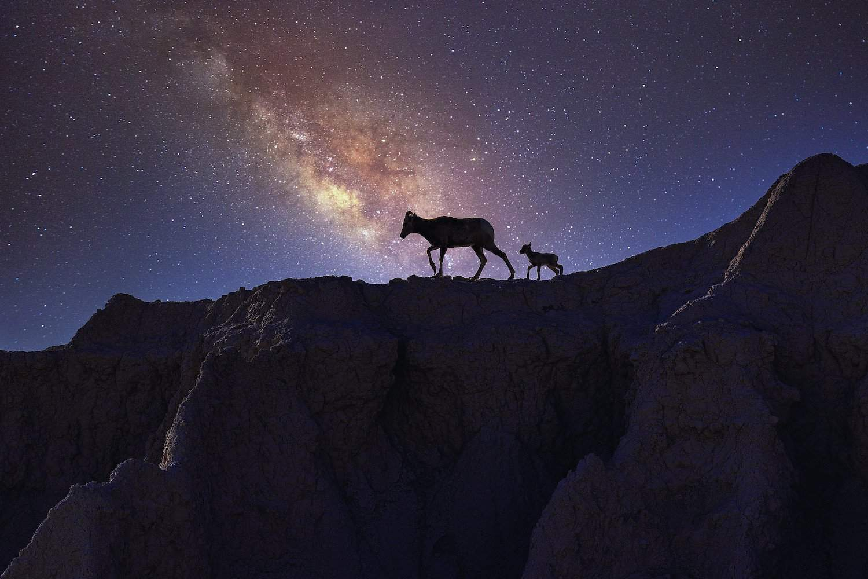 Stargazing in Badlands - Bighorn Sheep - Janusz Sobolewski via Flickr