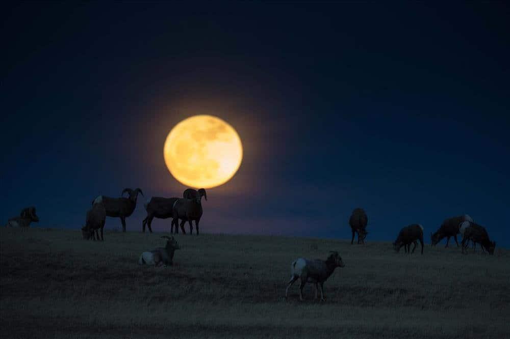 Stargazing in Badlands - Bighorn Sheep & the Moon